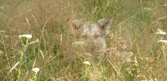 Şacalii din Argeş